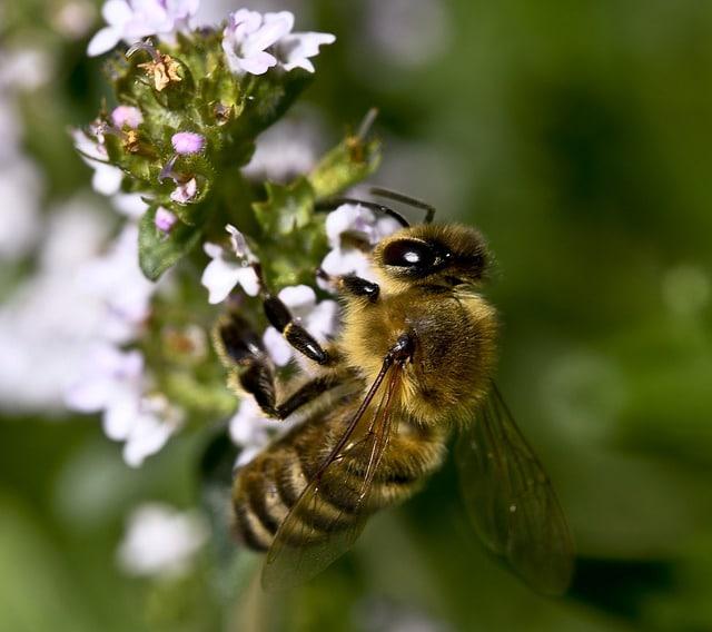 thyme honey bee