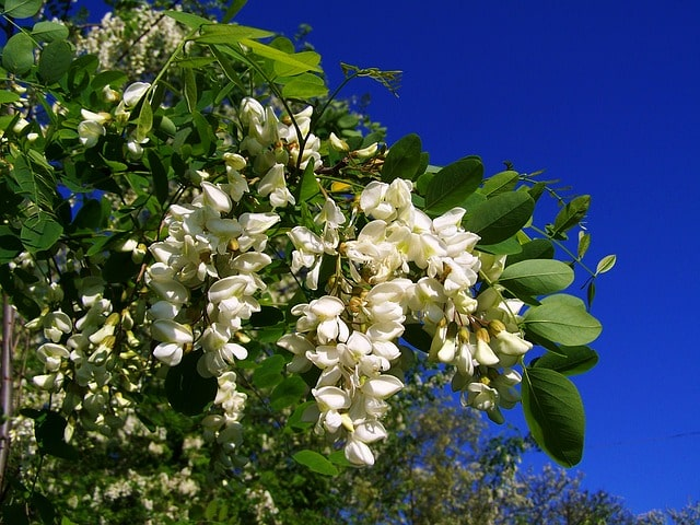 witte bloesems acacia-min