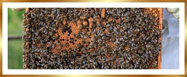 dutch honey